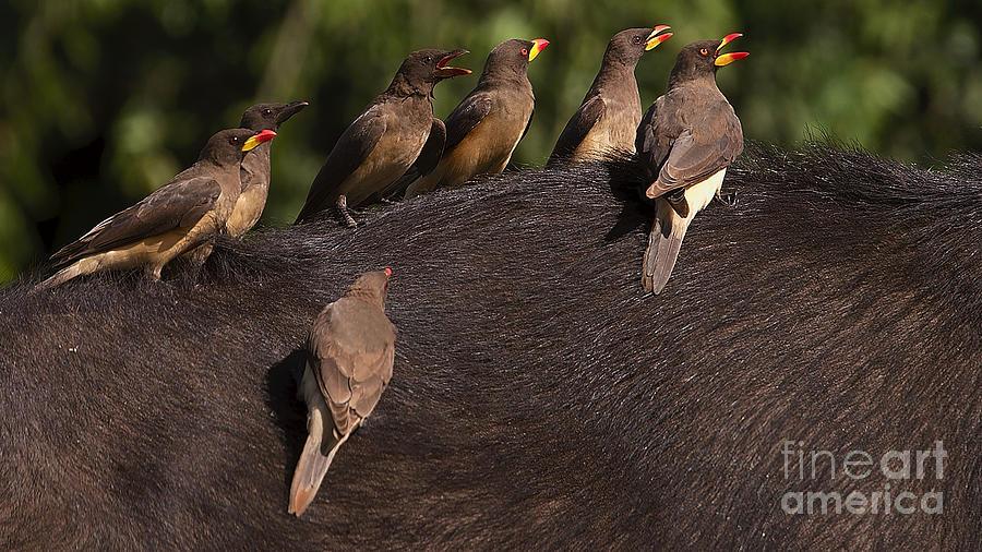 Yellowbilled Oxpeckers on buffalo by Mareko Marciniak