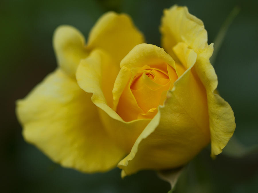 Rose Photograph - Yellowrose by Anna Calvert