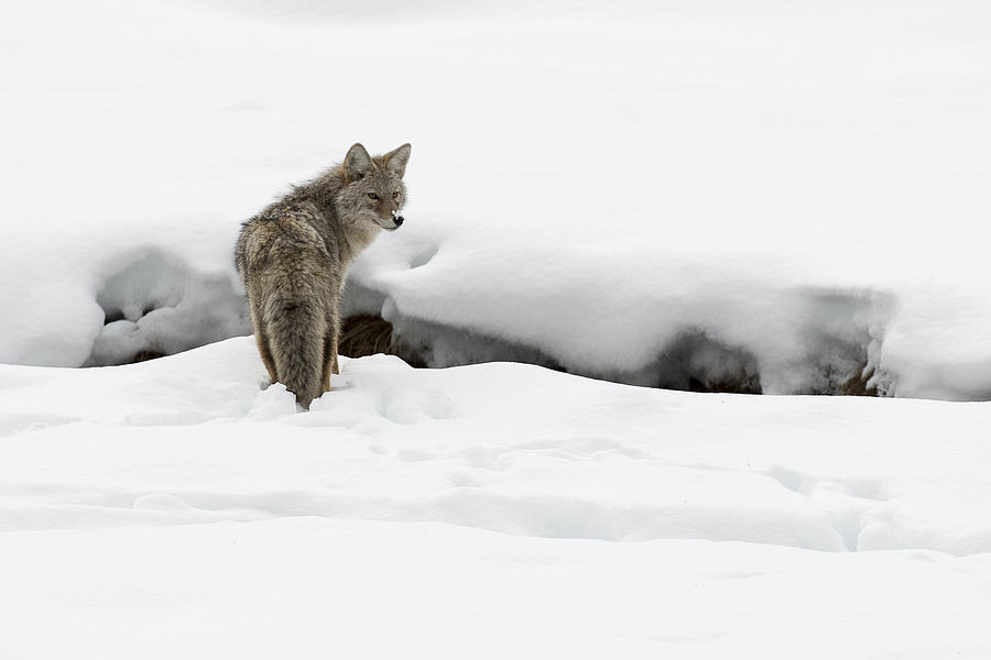 Coyote Photograph - Yellowstone Coyote by David Yack