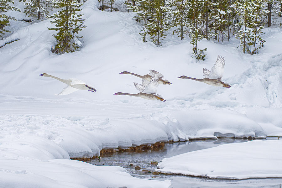 Geese Photograph - Yellowstone Geese Fly By by David Yack
