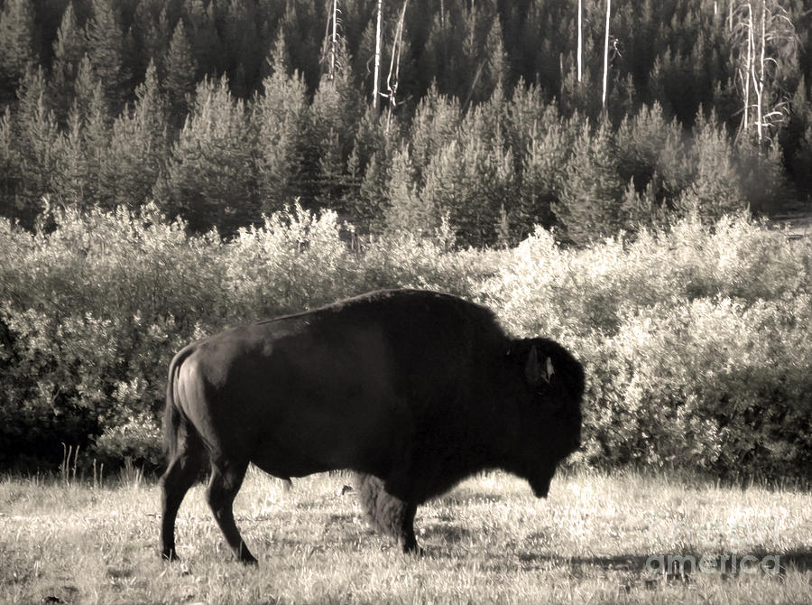 Yellowstone Painting - Yellowstone National Park Bison by Gregory Dyer