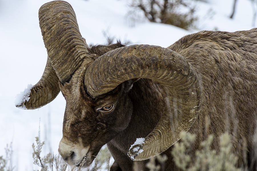 Animal Photograph - Yellowstone Ram by David Yack