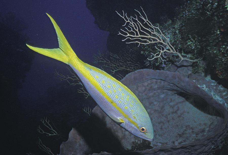 Yellowtail Snapper by Greg Ochocki