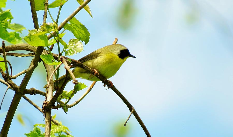 Yellowthroat Warbler Photograph