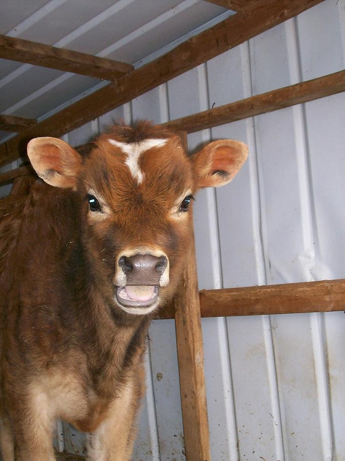 Cow Photograph - Yes Im Talking To You by Sara  Raber