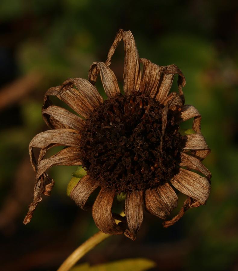 Nature Photograph - Yesterdays Blackeye Susan 2 by Robert Morin