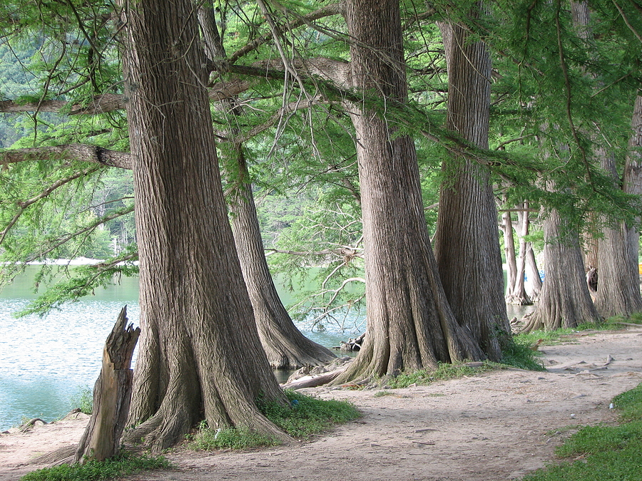 Cypress Photograph - Yesterdays Trees by Wendy J St Christopher