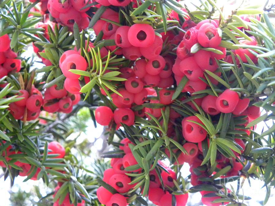Berries Photograph - Yewberries by Laura Yamada
