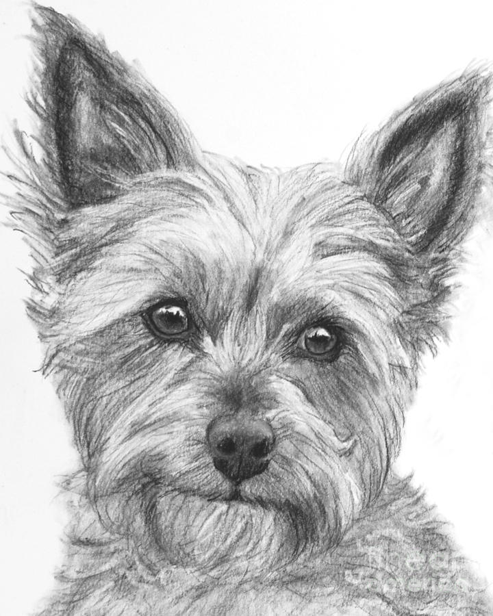 Yorkie Drawing Drawing By Kate Sumners
