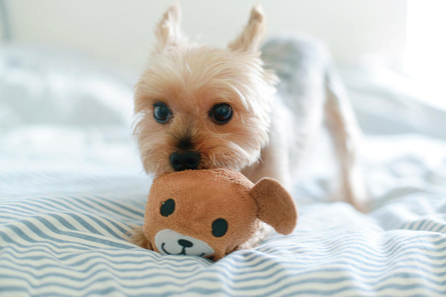 Pets Photograph - Yorkie Playing With Teddy Toy by Cheryl Chan