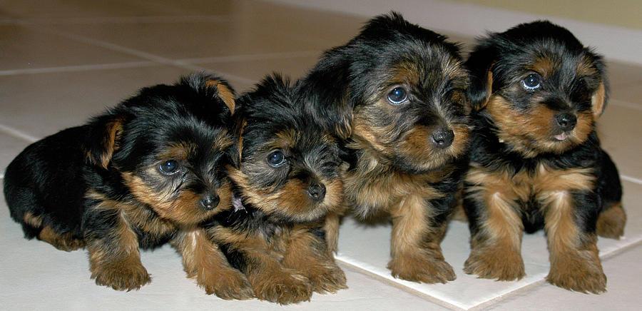 Yorkie Puppies Were Sorry Photograph By Geraldine Alexander