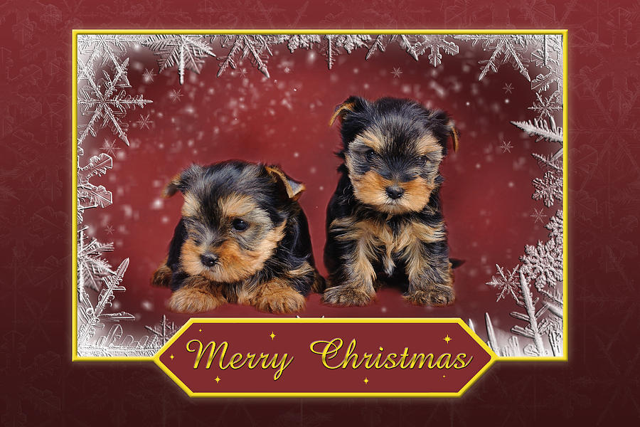 Yorkshire Terrier Christmas Card Photograph By Waldek Dabrowski