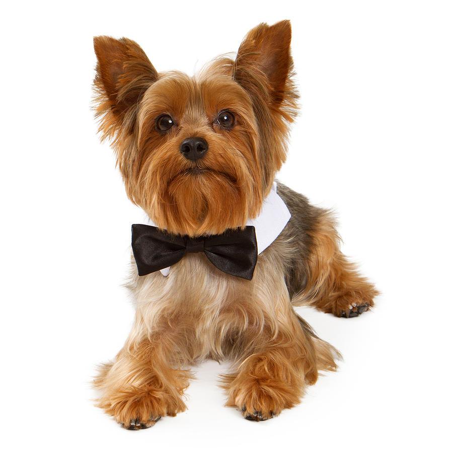 Dog Photograph - Yorkshire Terrier Dog With Black Tie by Susan Schmitz
