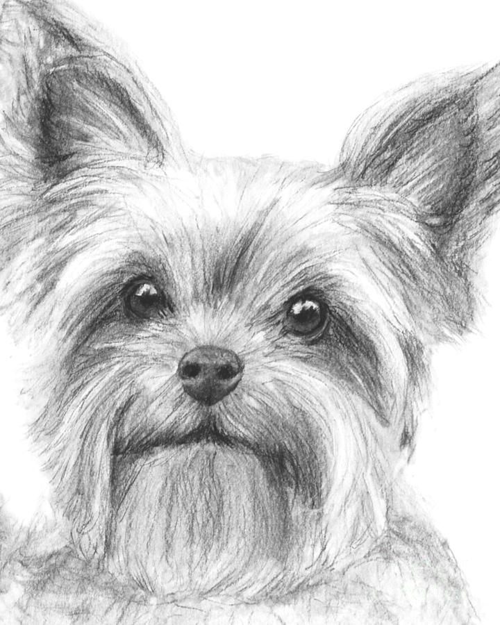Yorkshire Terrier Draw...
