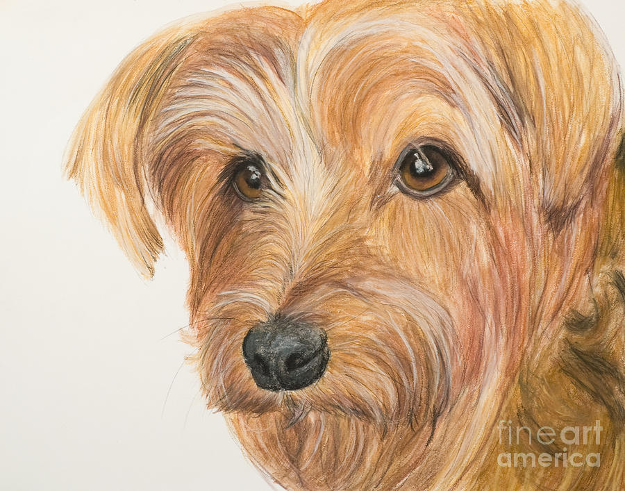 Yorkshire Terrier Painting - Yorkshire Terrier Face by Kate Sumners