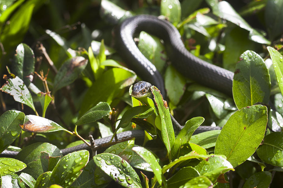 Black Snake Photograph - You Lookin At Me by Rich Franco