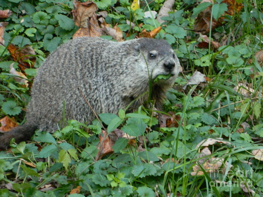 Groundhog Photograph - You Looking At Me? by Emmy Vickers