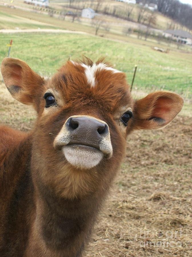 Cow Photograph - You Looking At Me by Sara  Raber