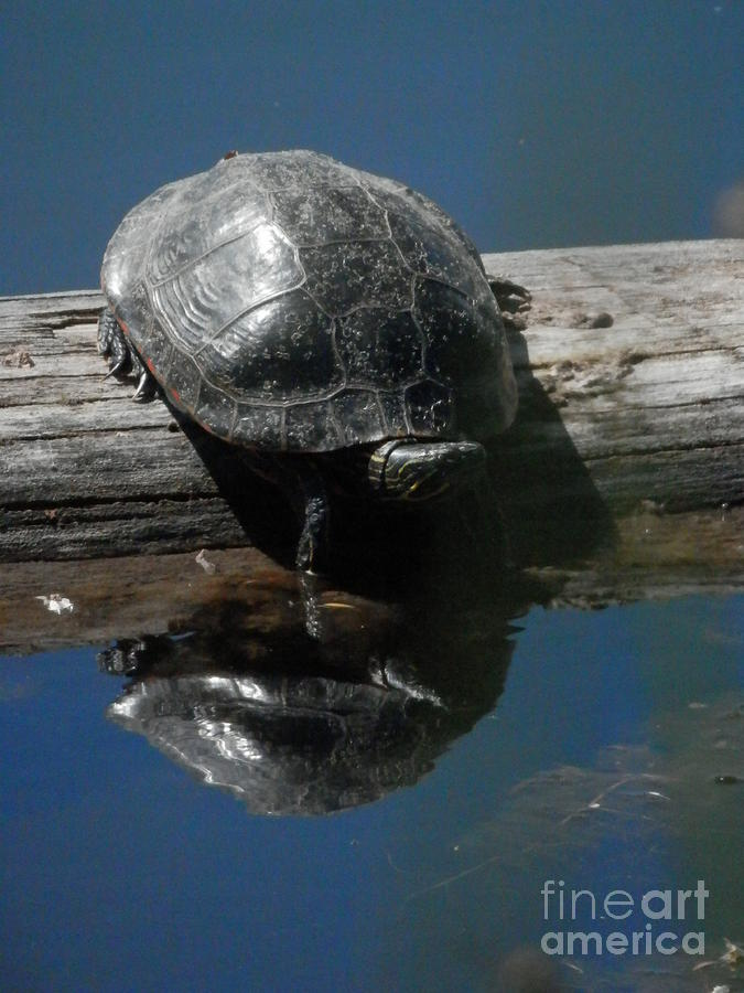 Turtle Photograph - You Seem Familiar by Margaret McDermott