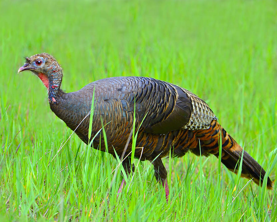 Wild Turkey Photograph - Young And Wild by Tony Beck