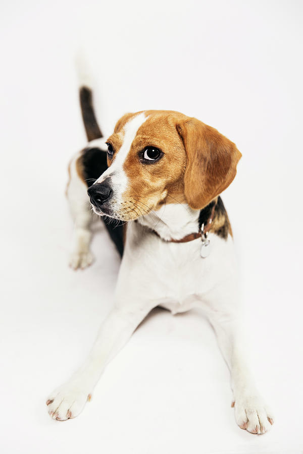 Young Beagle In The Studio Photograph by Kevin Vandenberghe