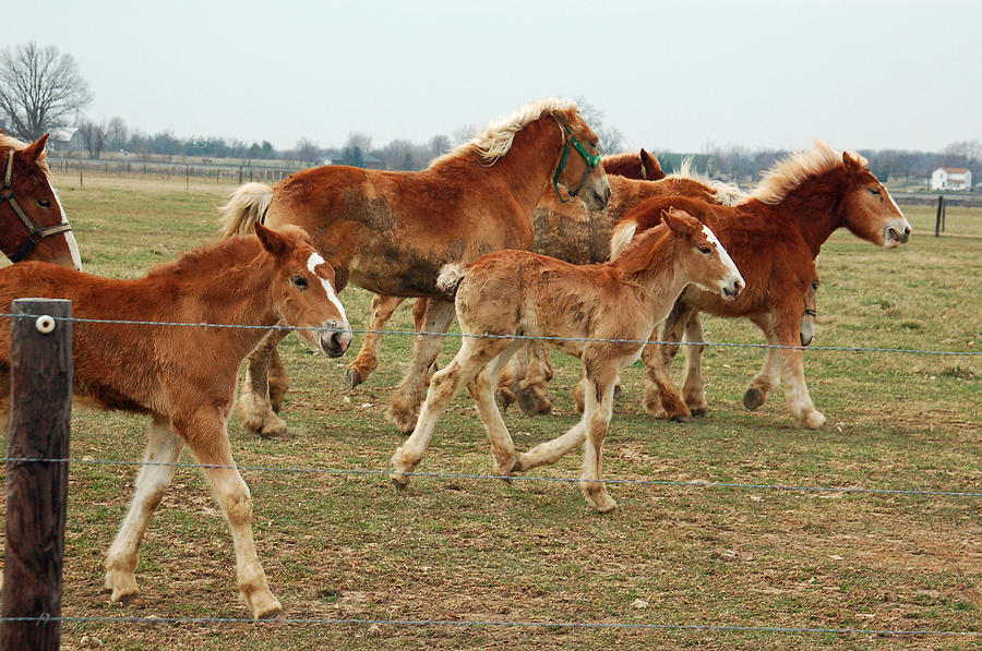 Belgian Horses Photograph - Young Belgians by Suzanne Gaff