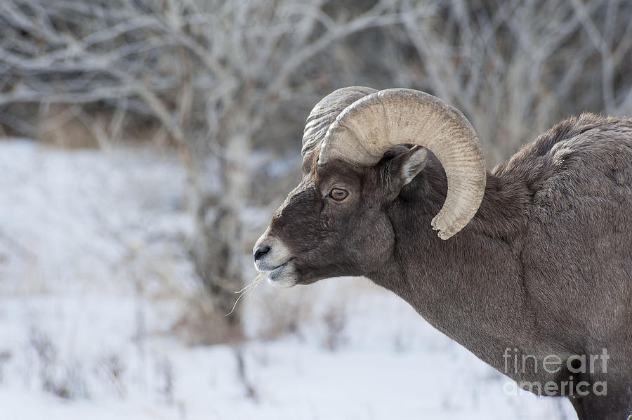 Nature Photograph - Young Big Horn Ram by Bob Dowling