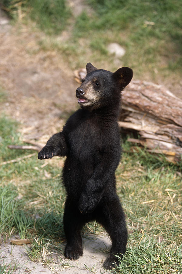 Young Black Bear Cub Standing Upright Photograph By Doug Lindstrand