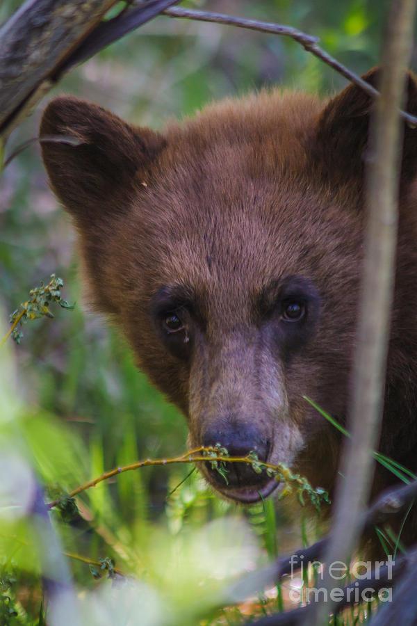 Black Bear Photograph - Young Black Bear by Mitch Shindelbower