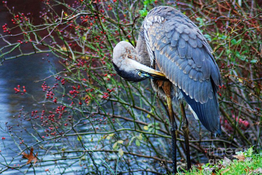 Paul Ward Photograph - Young Blue Heron Preening by Paul Ward