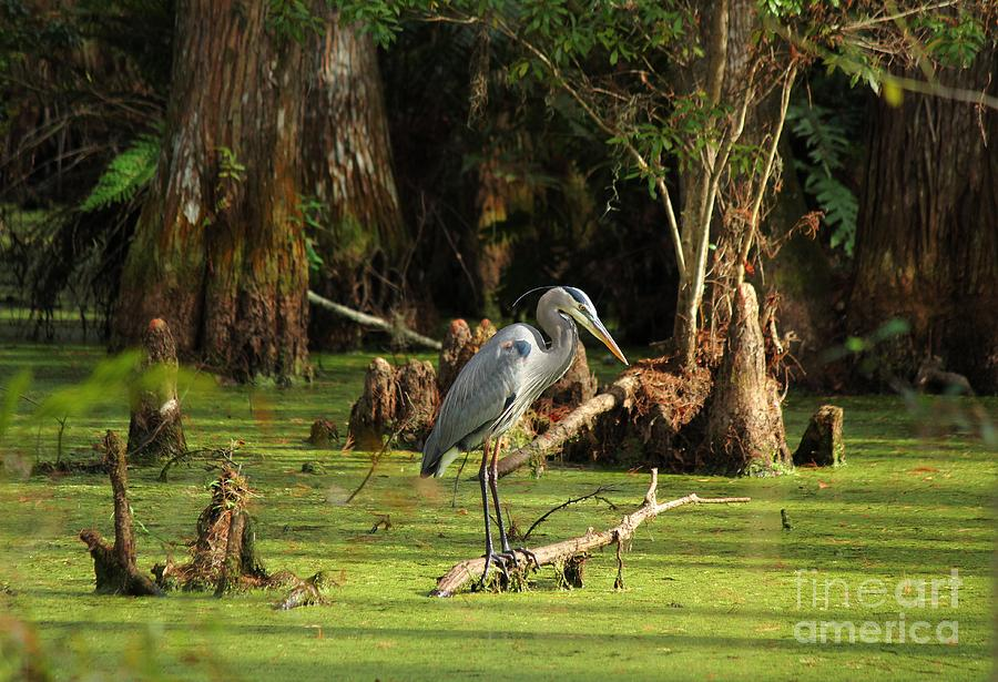 Blue Heron Photograph - Young Blue Heron by Theresa Willingham