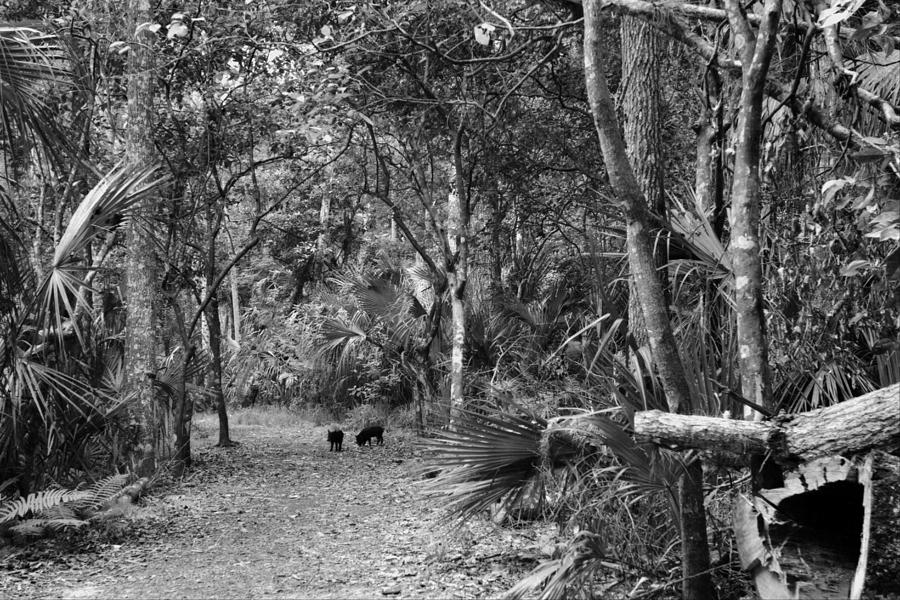 Black & White Photography Photograph - Young Boar. Highlands Hammock S.p by Chris  Kusik