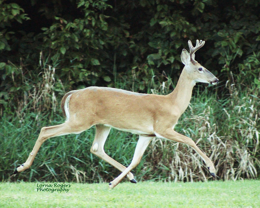 Deer Photograph - Young Buck by Lorna Rogers Photography
