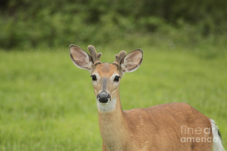 Whitetail Deer Photograph - Young Buck With Velvety Antlers by Jim Lepard