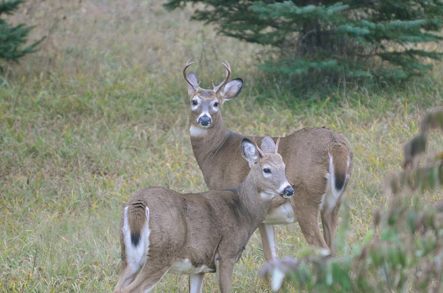 Young Bucks Photograph by Sandra Updyke