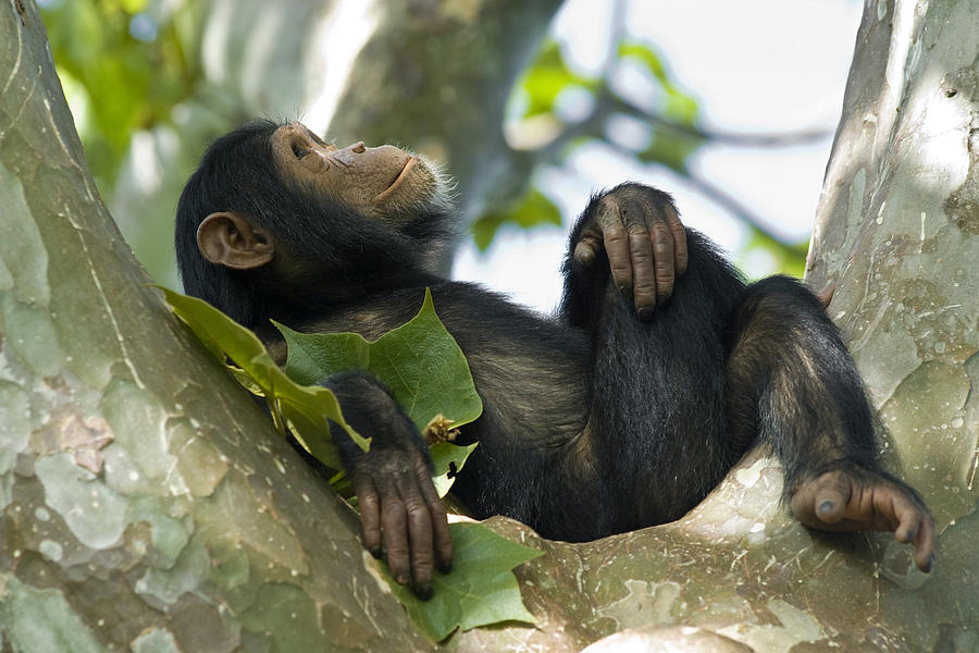 Young chimpanzee relaxing in a tree, wildlife shot, Gombe/Tanzania Photograph by Guenterguni