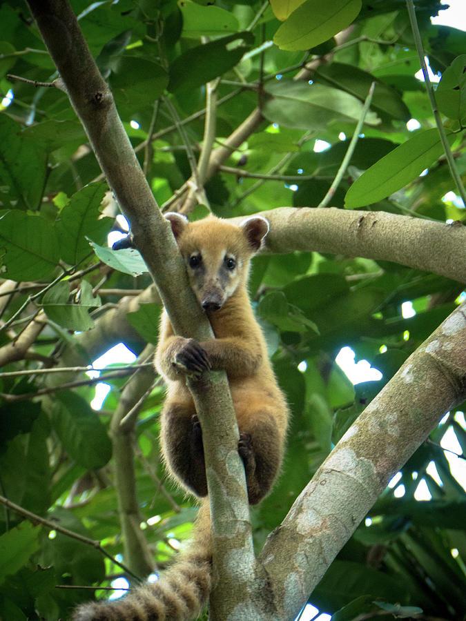 Young Coati Pantanal Photograph by Photo By Ferdi Merkx, E-in-motion