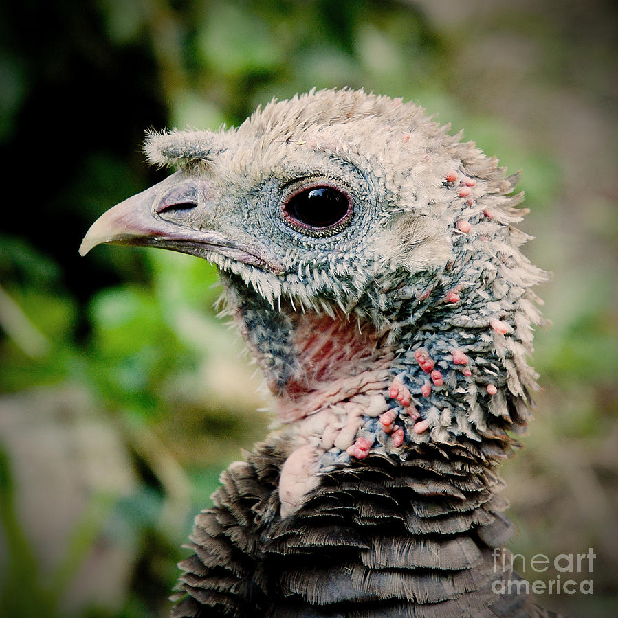Young Gobbler by Kathi Shotwell