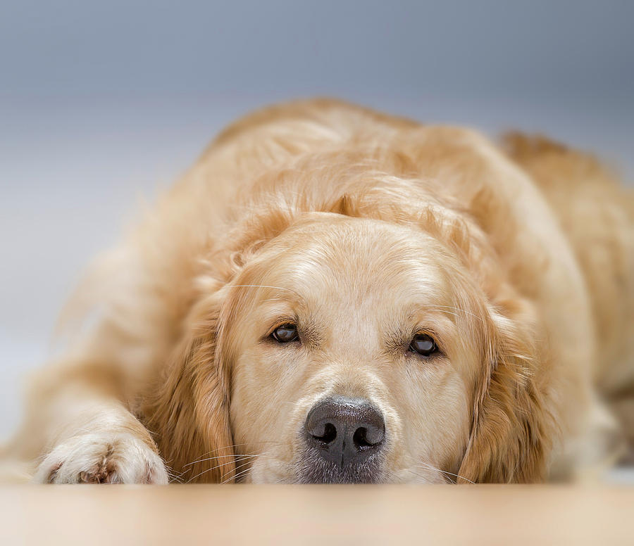 Young Golden Retriever Lying Down Male Photograph By