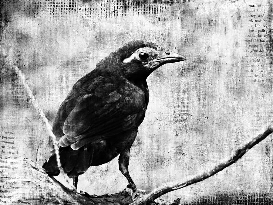 Grackle Digital Art - Young Grackle by Cassie Peters