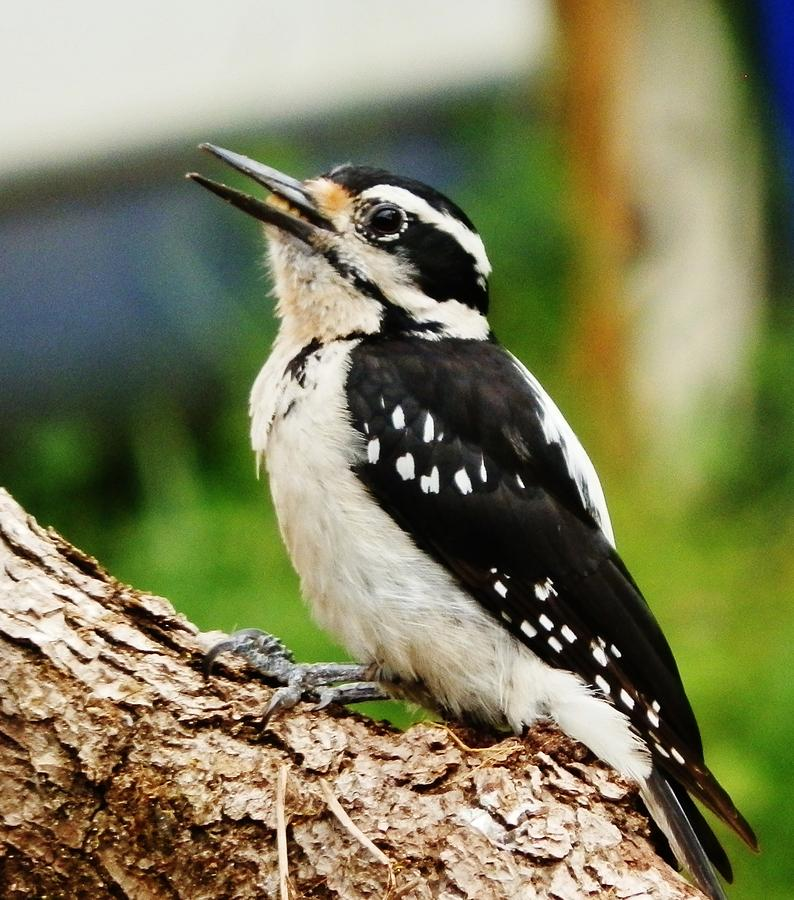 Woodpecker Photograph - Young Hairy Woodpecker by VLee Watson