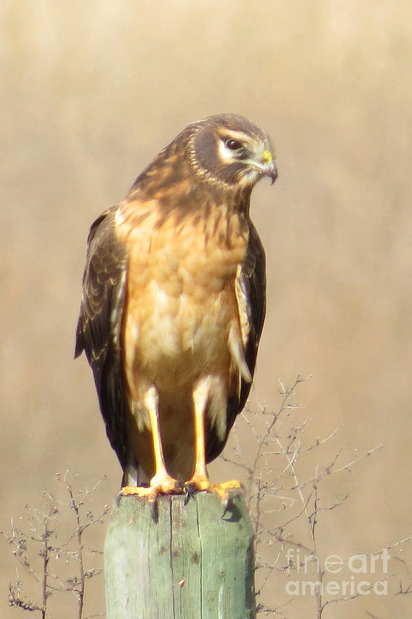 Northern Harrier Photograph - Young Harrier by Frank Townsley