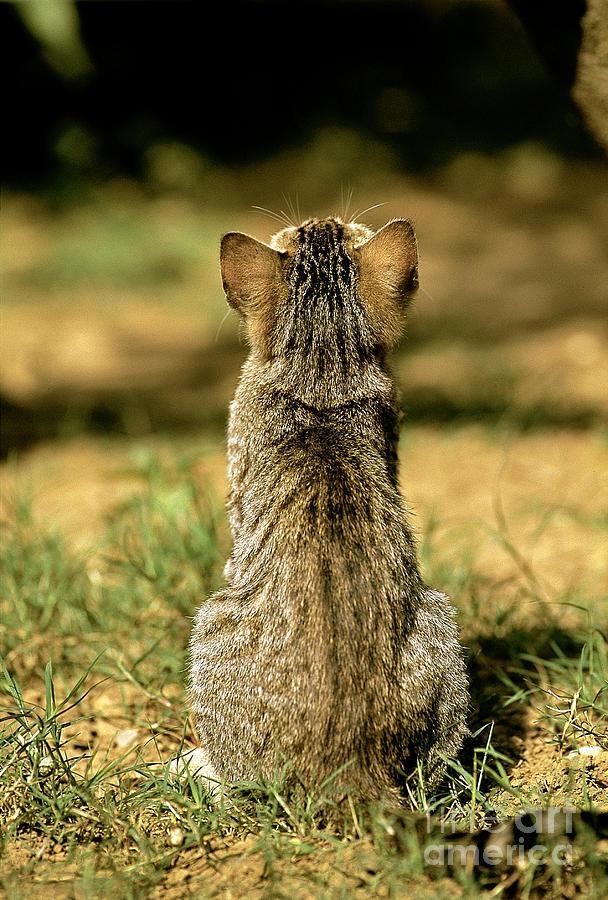 Gray Cat Photograph - Young House Cat by Christian Grzimek/Okapia