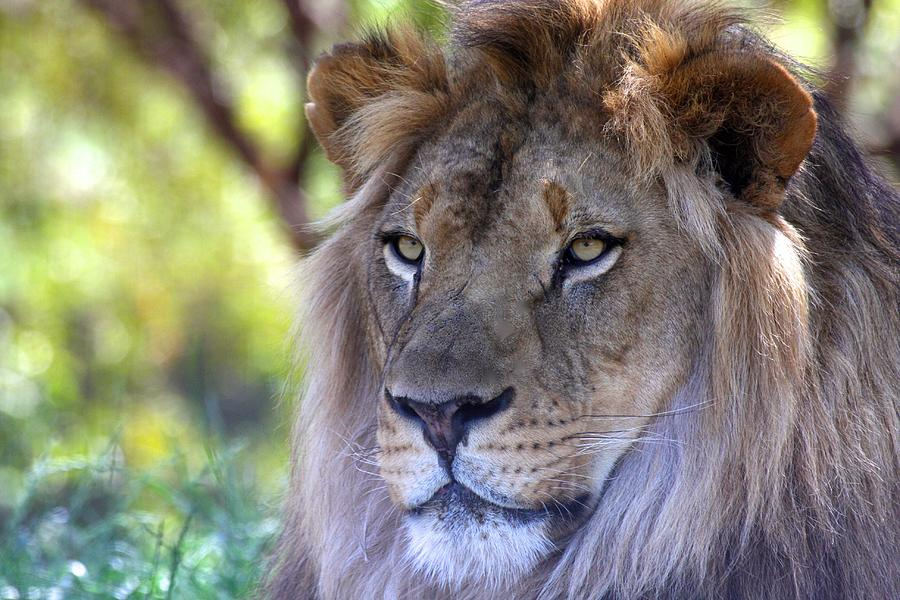 Lion Photograph - Young King In The Morning by Ruth Jolly
