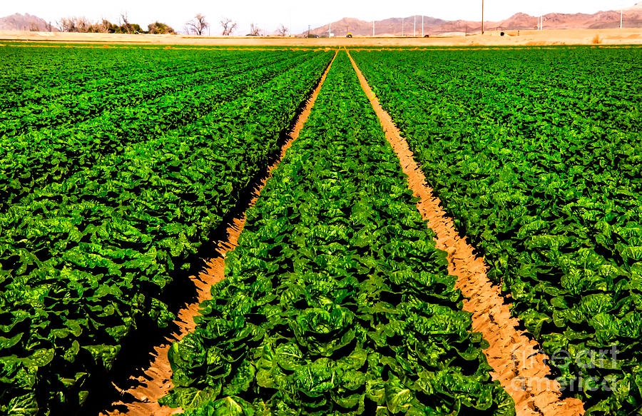 Winter Lettuce Photograph - Young Lettuce by Robert Bales