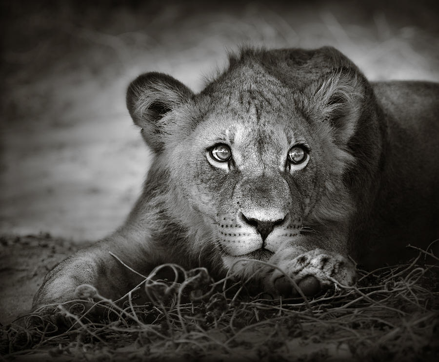 Wild Photograph - Young Lion Portrait by Johan Swanepoel