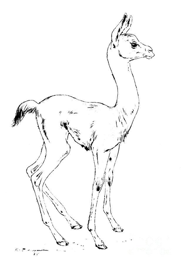 young llama  lama glama drawingkurt tessmann