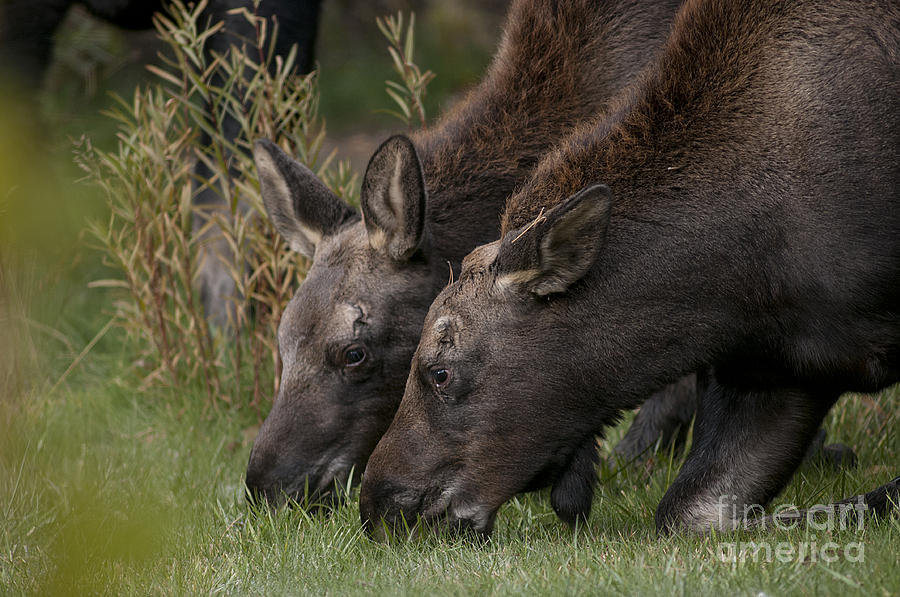 Calf Photograph - Young Moose by Earl Nelson