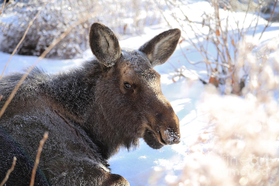 Moose Photograph - Young Moose Resting by Marty Fancy
