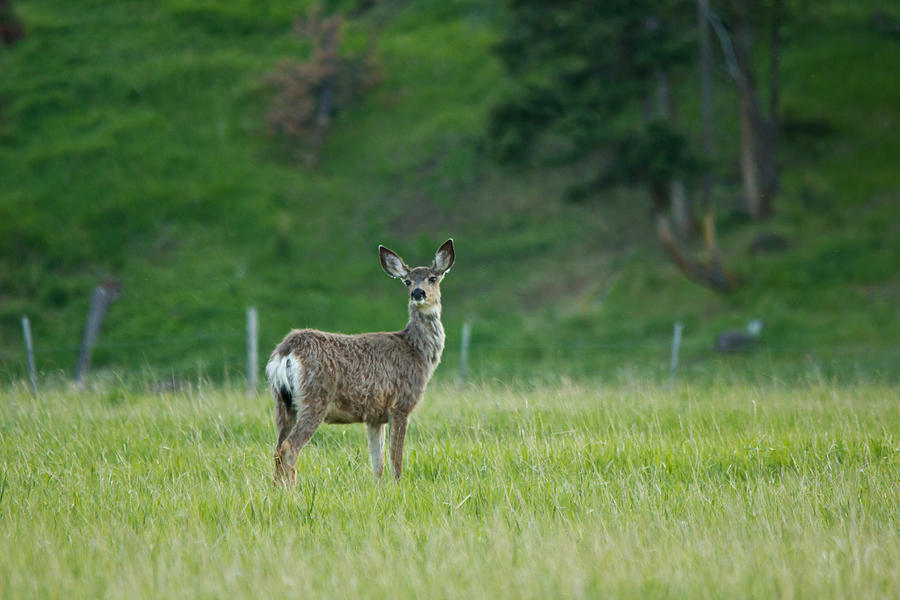 Canada Photograph - Young Mule Deer by Eti Reid